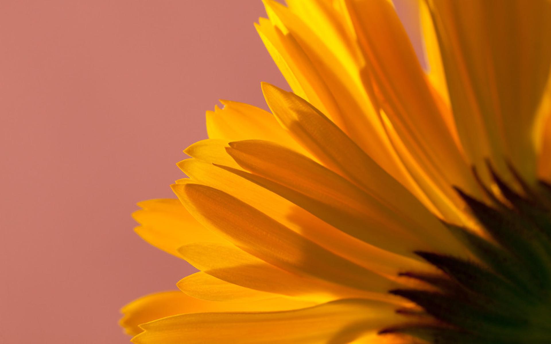 Fondo De Pantalla 1920x1200 Id: Sunflower Fondo De Pantalla HD