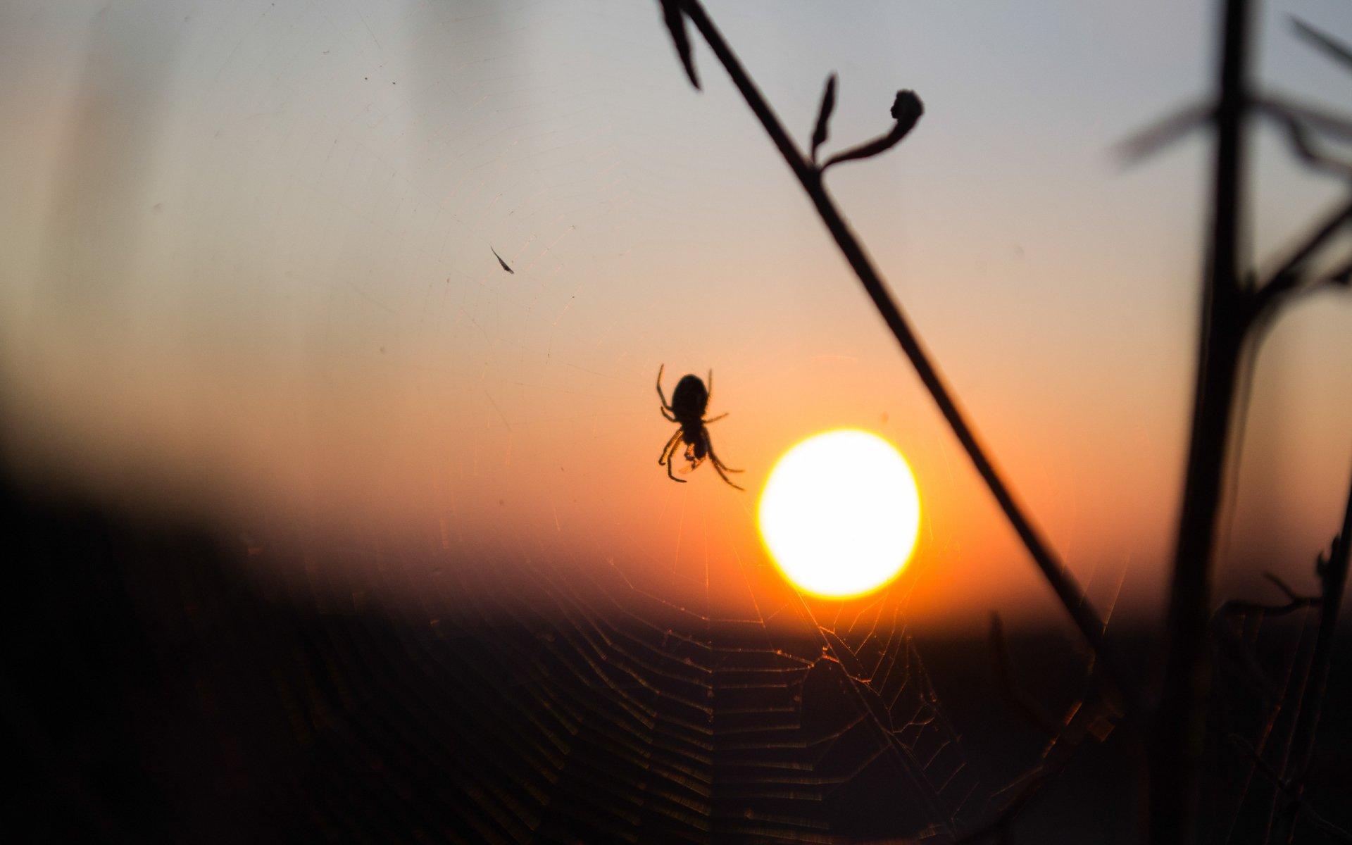 Animal - Spider  Wallpaper