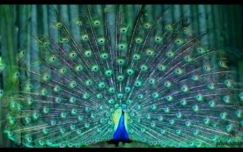 Animal - Peacock Wallpapers and Backgrounds ID : 459086
