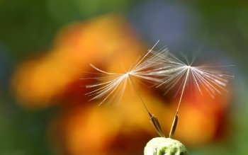 Earth - Dandelion Wallpapers and Backgrounds ID : 460104