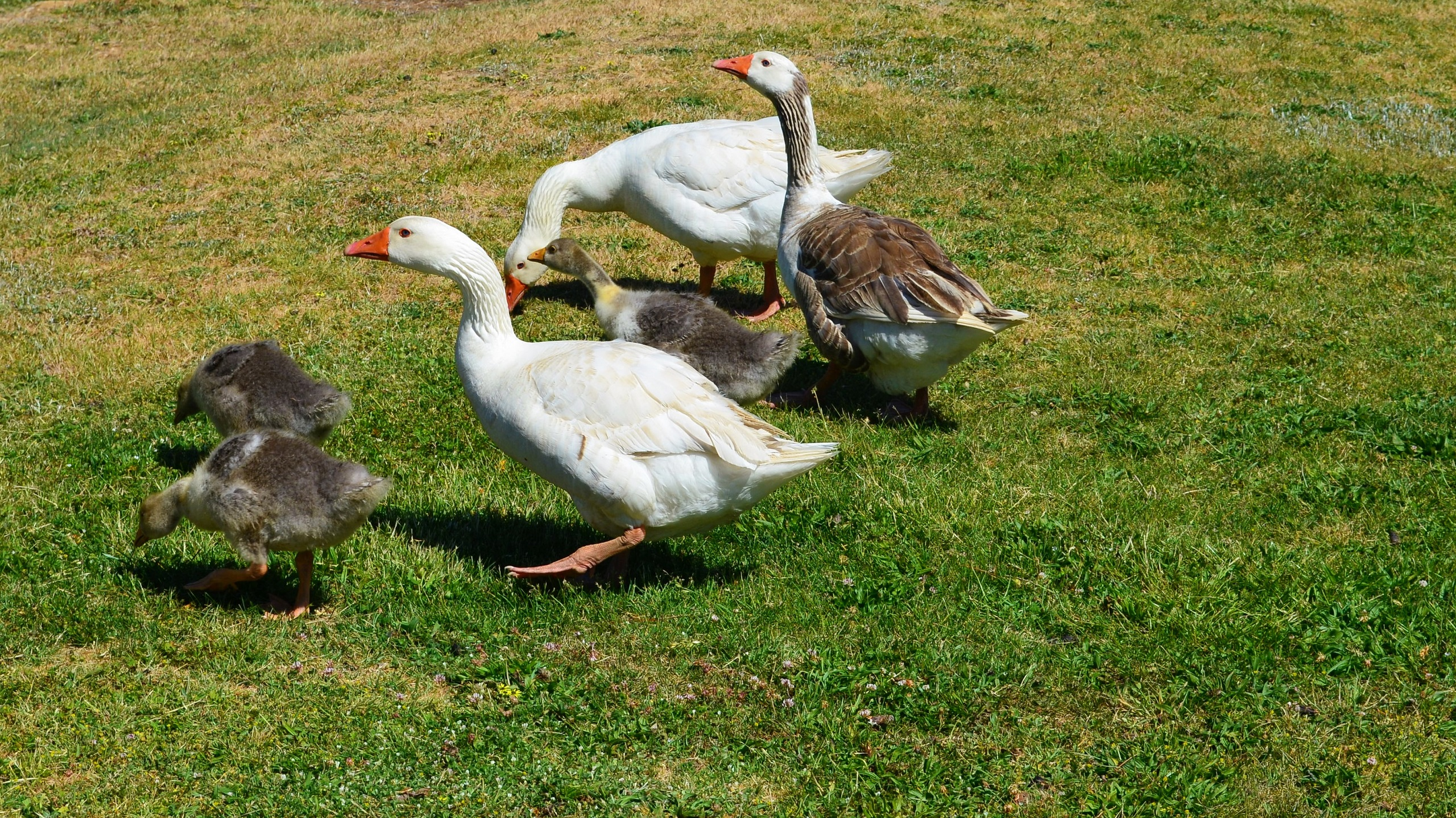 Geese At A Park In Hill End NSW Australia Full HD