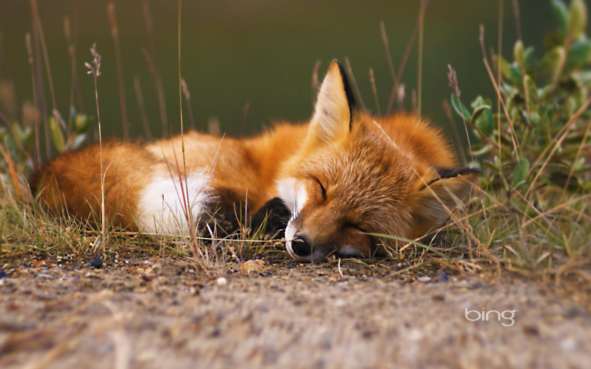 Fox full hd wallpaper and background 1920x1200 id 462854 for Animal wallpaper for walls