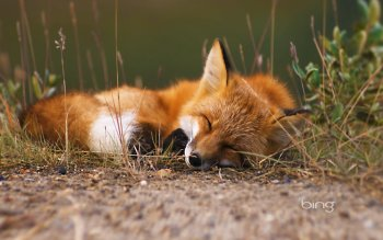 Animal - Fox Wallpapers and Backgrounds ID : 462854