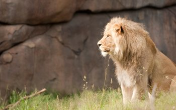 Animal - Lion Wallpapers and Backgrounds ID : 462880