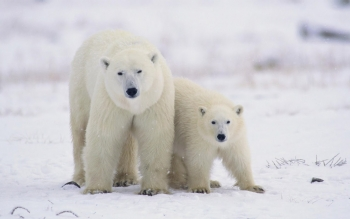 Animal - Polar Bear Wallpapers and Backgrounds ID : 462948