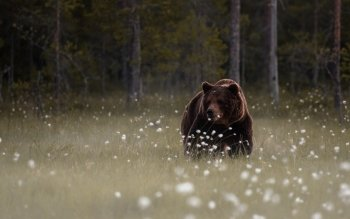Animal - Bear Wallpapers and Backgrounds