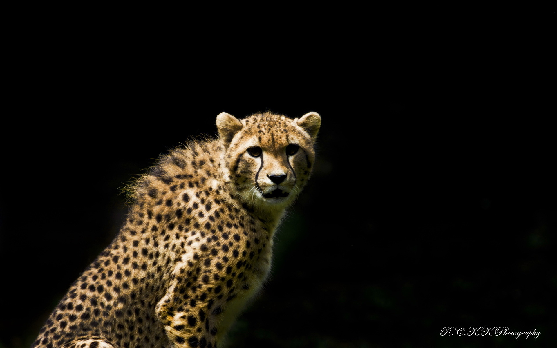 Cheetah full hd wallpaper and background image 1920x1200 for Animal wallpaper for walls