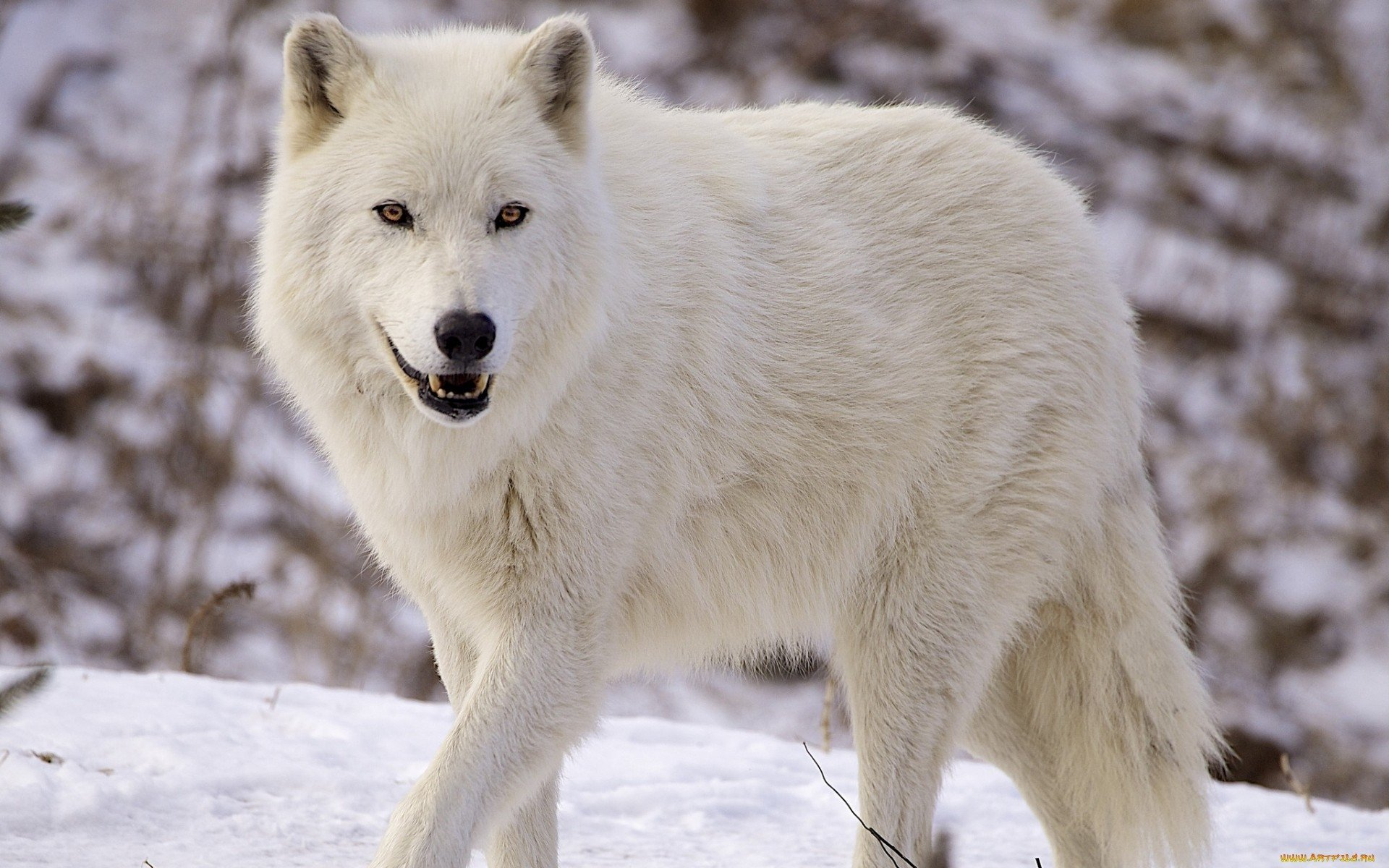 wolf wallpapers ndash animal - photo #35