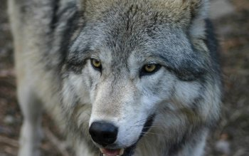 Animal - Wolf Wallpapers and Backgrounds ID : 464385
