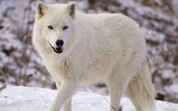 Animal - Wolf Wallpapers and Backgrounds ID : 464417