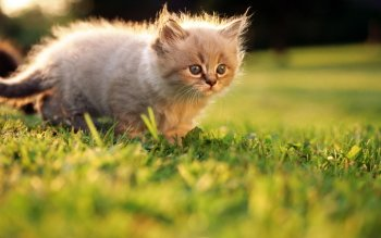 Animal - Cat Wallpapers and Backgrounds ID : 466119