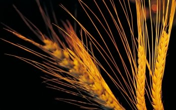 Earth - Wheat Wallpapers and Backgrounds ID : 466434