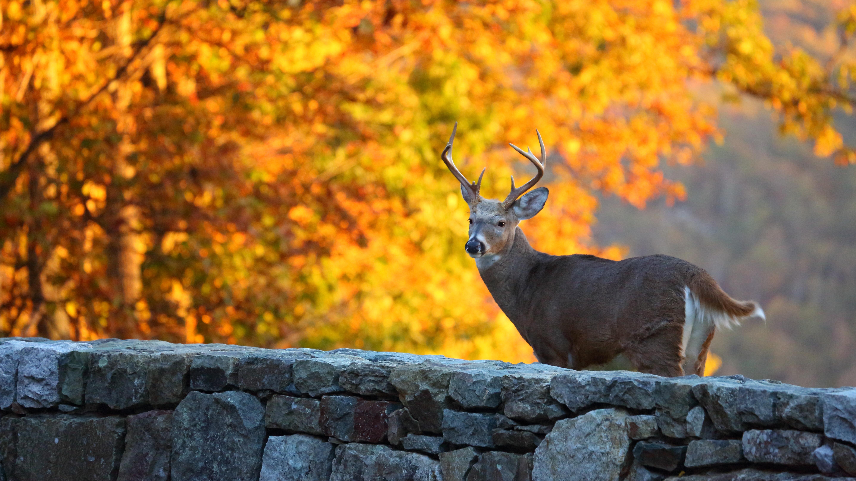 Whitetail deer 5k retina ultra hd wallpaper and background image animal deer wallpaper voltagebd Image collections