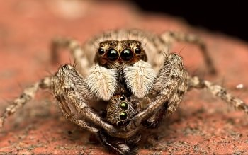 Animalia - Spiders Wallpapers and Backgrounds ID : 468362