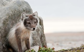 Animal - Arctic Fox Wallpapers and Backgrounds ID : 468367