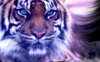 Animal - Tiger Wallpapers and Backgrounds
