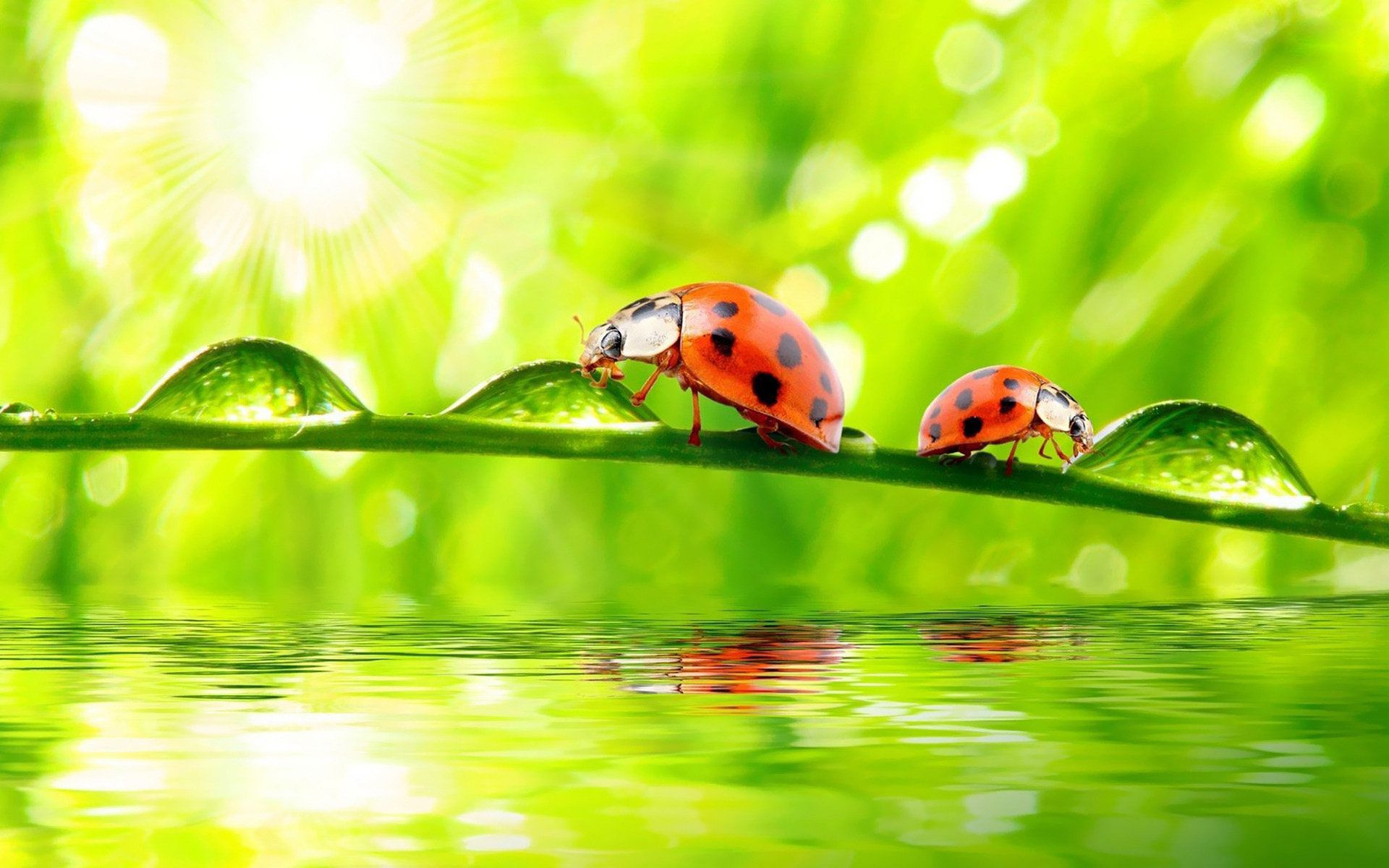 Ladybug Full HD Wallpaper And Background Image