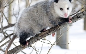 Animal - Opossum Wallpapers and Backgrounds ID : 472717