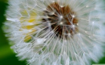 Earth - Dandelion Wallpapers and Backgrounds ID : 483219