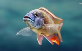 Animal - Fish Wallpapers and Backgrounds ID : 483565