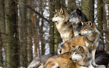 Animal - Wolf Wallpapers and Backgrounds ID : 483569
