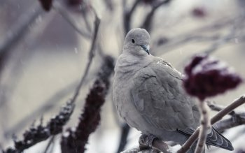 Animalia - Dove Wallpapers and Backgrounds ID : 485822