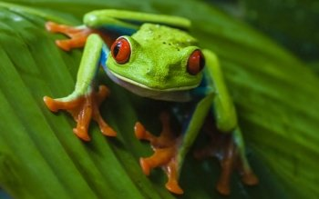 Animalia - Red Eye Tree Frog Wallpapers and Backgrounds ID : 485834