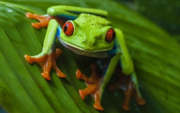 Animal Red Eyed Tree Frog Frogs Frog HD Wallpaper | Background Image