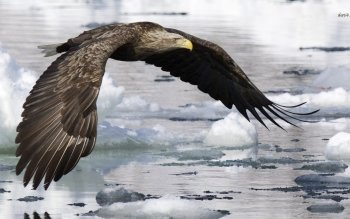 Animal - Eagle Wallpapers and Backgrounds ID : 491113