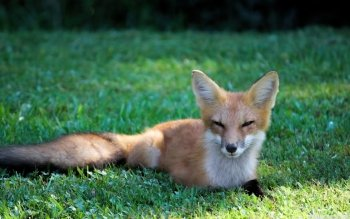 Animal - Fox Wallpapers and Backgrounds ID : 492150