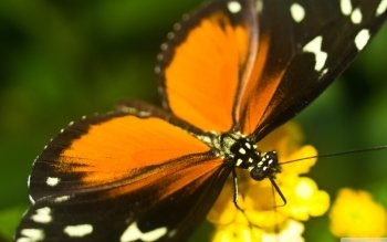 Animal - Butterfly Wallpapers and Backgrounds ID : 494555