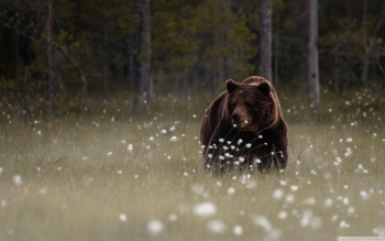 Animal - Bear Wallpapers and Backgrounds ID : 494831