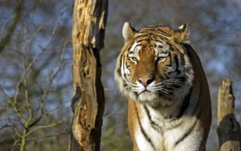 Animal - Tiger Wallpapers and Backgrounds ID : 496359