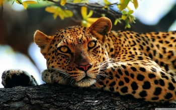 Animal - Leopard Wallpapers and Backgrounds ID : 496796