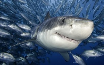 Animal - Shark Wallpapers and Backgrounds ID : 496939
