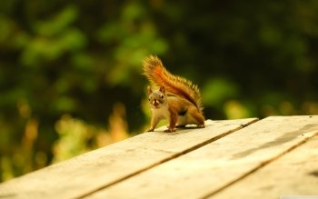 Animal - Squirrel Wallpapers and Backgrounds ID : 498029