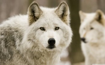 Animal - Wolf Wallpapers and Backgrounds ID : 498031