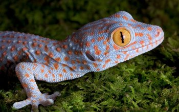 Animal - Tokay Gecko Wallpapers and Backgrounds ID : 499449