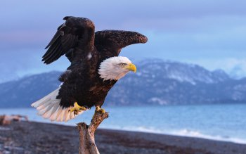 Animal - Eagle Wallpapers and Backgrounds ID : 499471