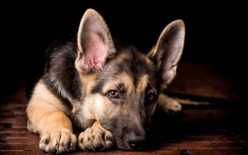 Animal - German Shepherd Wallpapers and Backgrounds ID : 499626