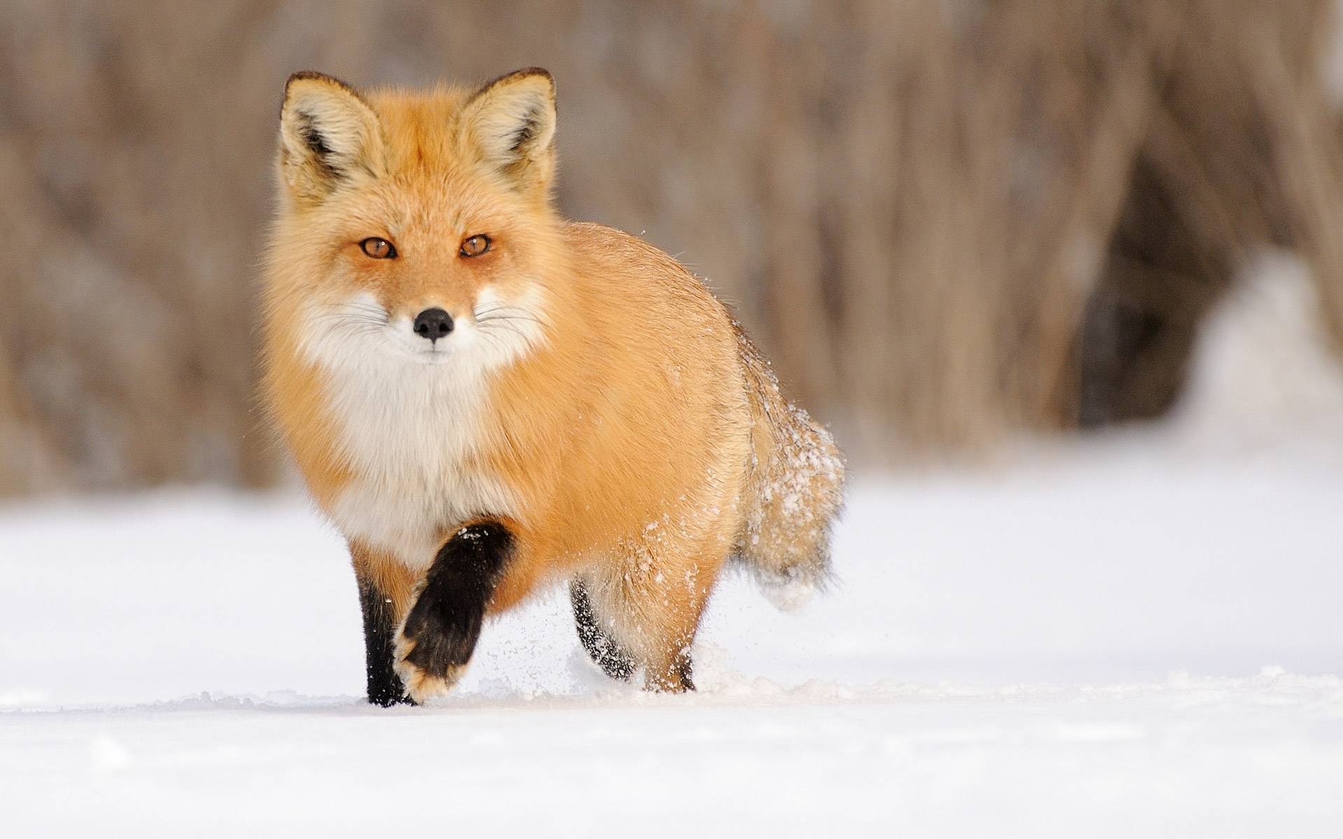 Fox Full HD Wallpaper And Background