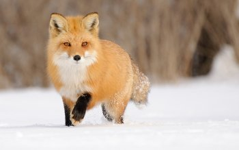 Animal - Fox Wallpapers and Backgrounds ID : 500274