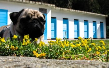 Animal - Pug Wallpapers and Backgrounds ID : 501037