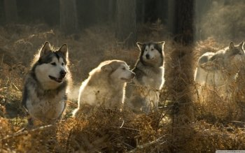 Animal - Husky Wallpapers and Backgrounds ID : 501217