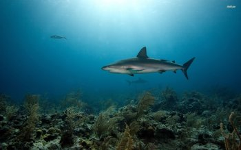 Animal - Shark Wallpapers and Backgrounds ID : 502387