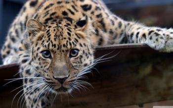 Animal - Leopard Wallpapers and Backgrounds ID : 502646