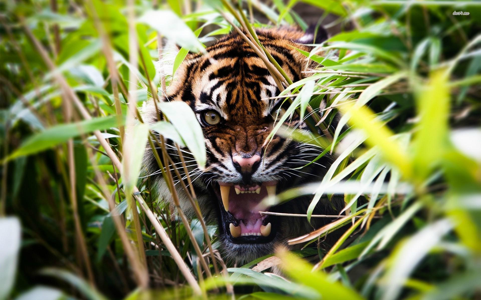angry tiger eyes wallpaper - photo #37