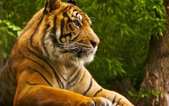 Animal - Tiger Wallpapers and Backgrounds ID : 504049