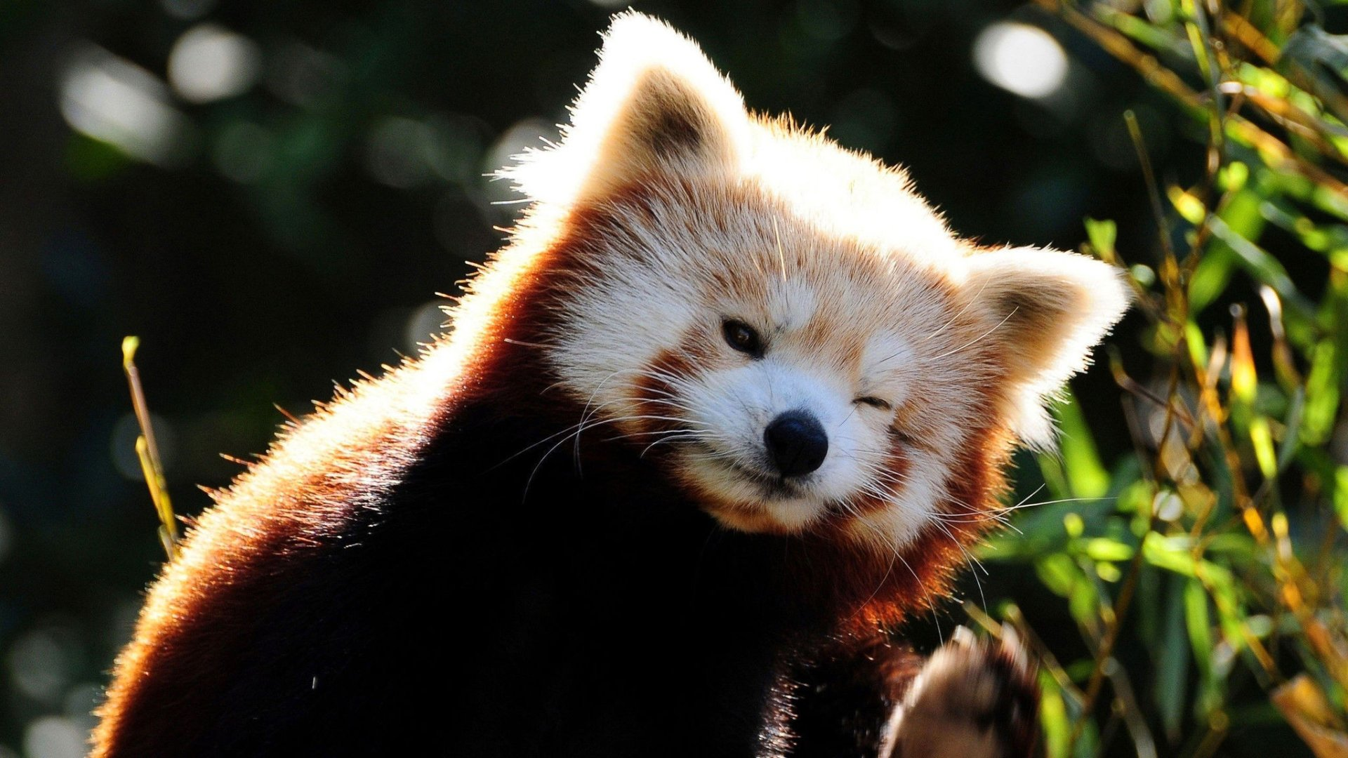 Red Panda Full HD Wallpaper and Background | 2048x1152 ...