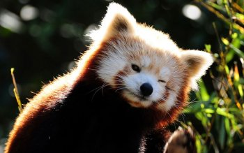 Animal - Red Panda Wallpapers and Backgrounds ID : 506962